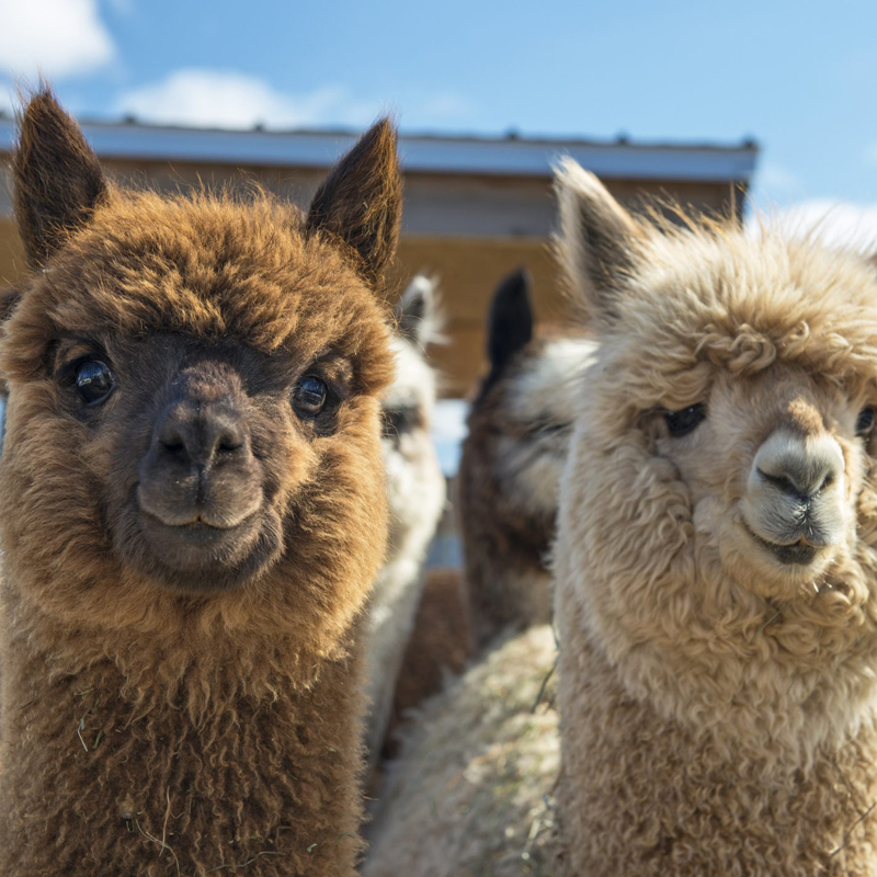 Agriturismo Infinito - Servizi - Zoo - Alpaca